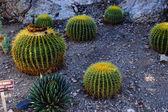 Golden barrel cactus  — Stock Photo