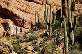 Tall saguaro cactus in the desert highlands  — Stock Photo