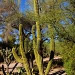 Tall saguaro cactus — Stock Photo #45939375