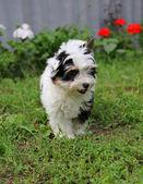 Filhote de cachorro — Fotografia Stock