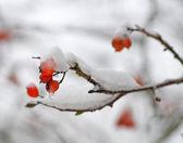 Ashberries en una nieve — Foto de Stock