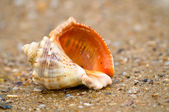 Cockle-shell — Stock Photo