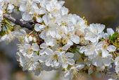 Blossoming branch of a cherry tree — Stock Photo