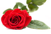 Single Red Rose on White — Stock Photo