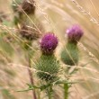 Stock Photo: Burdock in Faded Grass