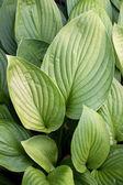 Striped Green Leaves of Hosta — Stock Photo