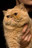 Red Persian Cat — Stockfoto