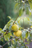 Apricots on Green Branch — Stock Photo