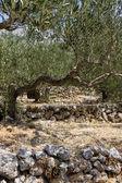 Olijfboomgaard — Stockfoto