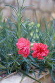 Small Carnations — Stock Photo