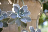 Succulent in Flowerpot — Stock Photo