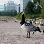 Barnacle Geese — Stock Photo