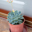 Potted Succulent with Flower — Stock Photo #40341869