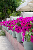 Row of Potted Flowers — Stock Photo