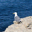 Stock Photo: Segull