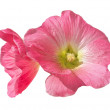 Large flower pink — Stock Photo