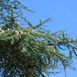 Green pine with big cones — Foto de Stock