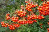 Bunch of ripe ashberry — Stockfoto