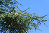 Green pine with big cones — Стоковое фото