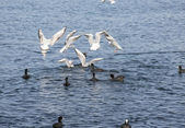 The sea gull which flies in the air — Stock Photo
