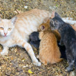 Cat breastfeeds kittens — ストック写真