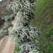 Reindeer moss — Stock Photo #35973017