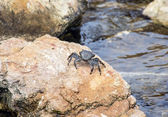 Crab on a stone — Stock Photo