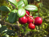 Cranberry — Stock Photo