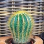 Cactus — Stock Photo #12170520