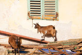 Tibetan goats — Stock Photo