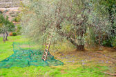 Olives harvest — Stock Photo