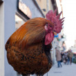 Rooster — Stock Photo #20665855