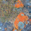 Stock Photo: Lichen