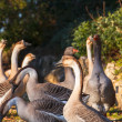 Goose — Stock Photo #40254121