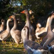 Goose — Stock Photo #40258395