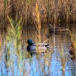 Foto de Stock  : Mallards in the lagoon