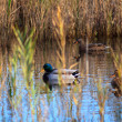 Mallards in the lagoon — Foto Stock