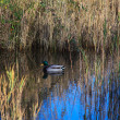 Foto Stock: Mallards in the lagoon
