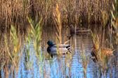 Mallards in the lagoon — Stock Photo