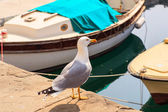Yellow-legged gull — Stock Photo