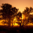 Stock Photo: Silhouettes of trees in orange sunrise backlit .