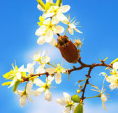 Brown beetle on branch blooming fruit tree — Stock Photo