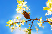 Big beetle on branch blooming fruit tree — Stock Photo