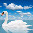 White swan floats in water. — Stock Photo