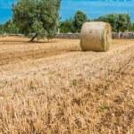 Sheaves of straw, Apulia region — Stock Photo #26616061