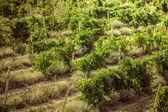 Vineyards in Crimea. — Stock Photo