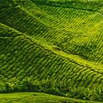 Tea plantation in Sri Lanka — Stock Photo