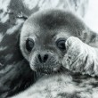 Baby seal — Stock Photo #44326051