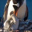 Penguin Family — Stock Photo #44326497
