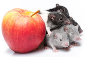 Cute baby rats  — Stock Photo